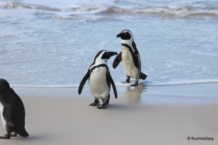 Penguins at Boulders Beach in South Africa