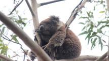Sleeping Koala somewhere on the Great Ocean Road
