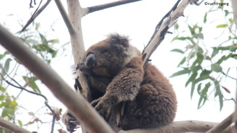 Sleeping Koala somewhere on the Great Ocean Road