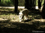 """""""No one lets me rest"""" , White Tiger in Banerghatta"""
