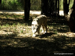 """No one lets me rest"" , White Tiger in Banerghatta"
